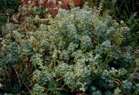 Photo: Horehound One of the dominant weeds facing the original members of FOOPS
